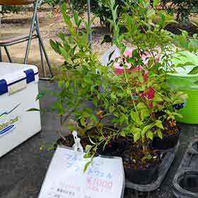 ブルーベリーの苗も販売してます。